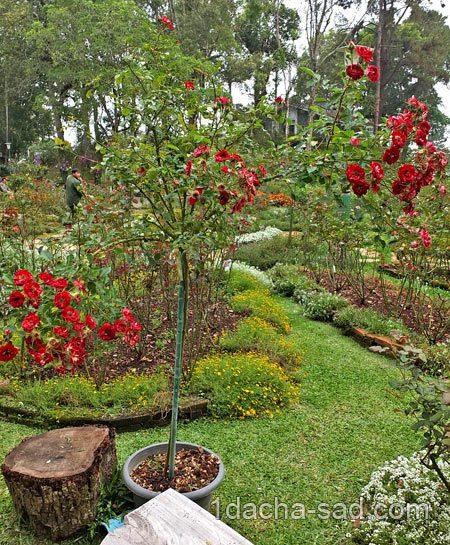 Розы на даче — как вырастить…