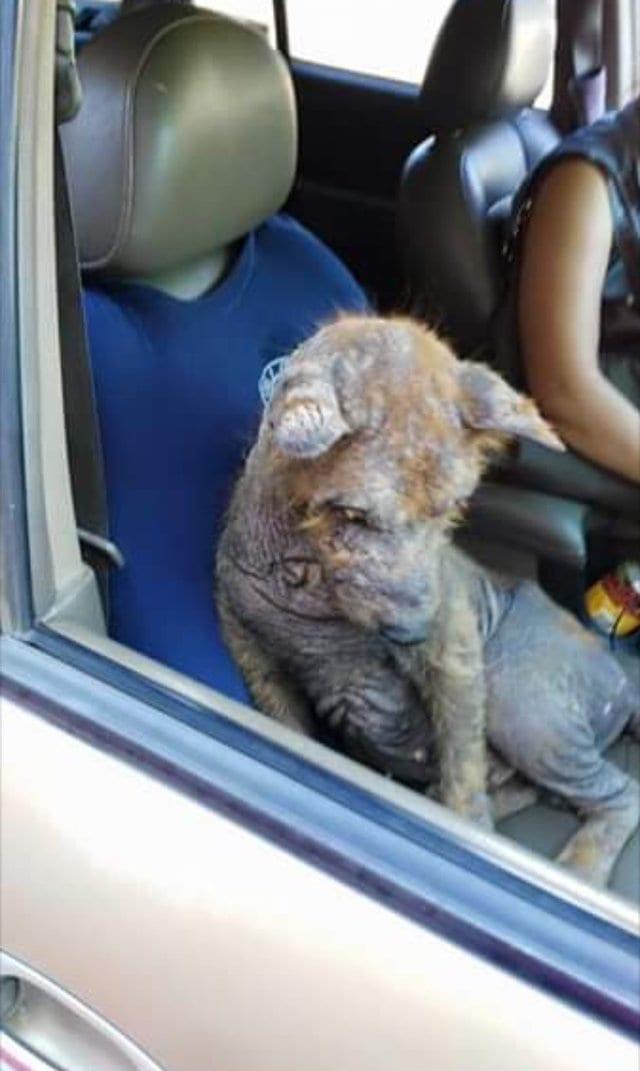 Женщина нашла под своей машиной лысого пса и решила спасти его. Вот чем все закончилось!