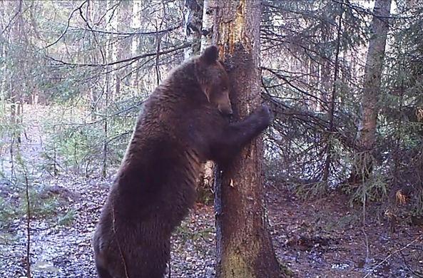 Медведь-танцор на Урале нашел себе подругу