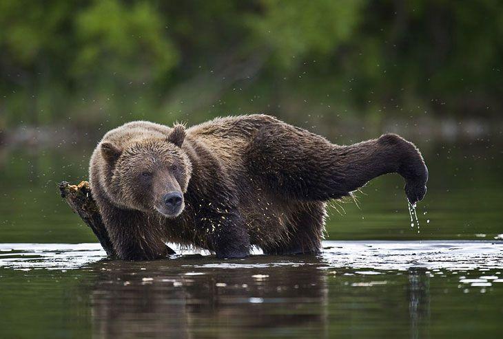 Камчатка Жизнь медведей медведи, камчатка, интересное