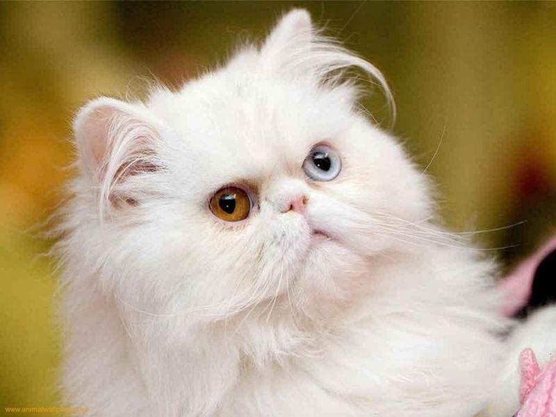 Heterochromia23 Разноглазые кошки