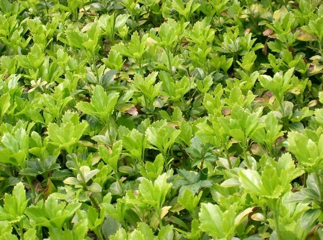 Пахизандра верхушечная Supersadovod - о саде и огороде просто и интересно