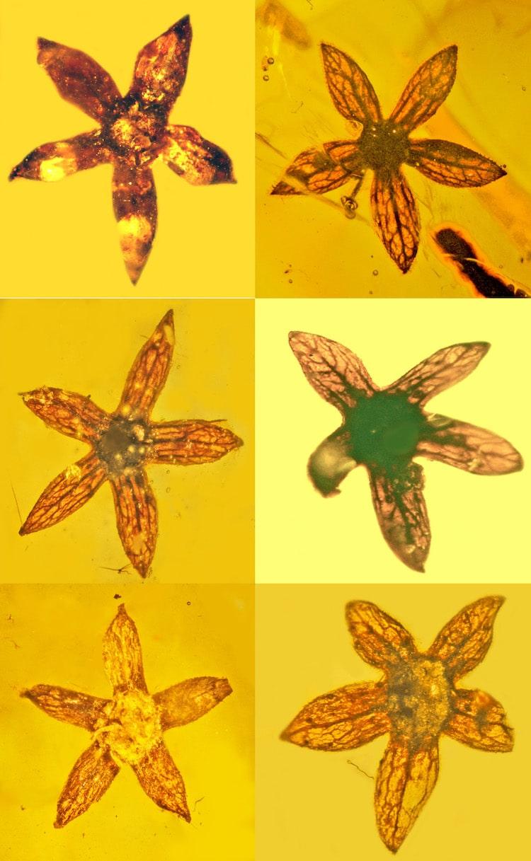 В Мьянме обнаружили цветы возрастом 100 миллионов лет