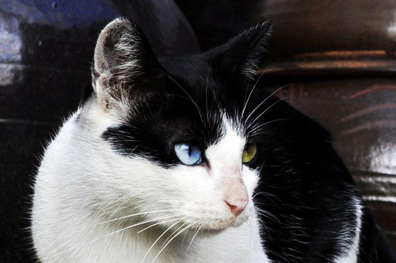 Heterochromia12 Разноглазые кошки
