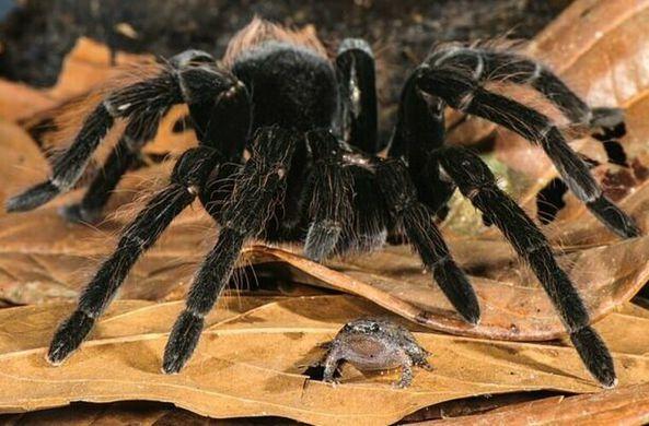Итальянский натуралист стал  свидетелем необычных отношений между пауком-птицеедом и лягушкой