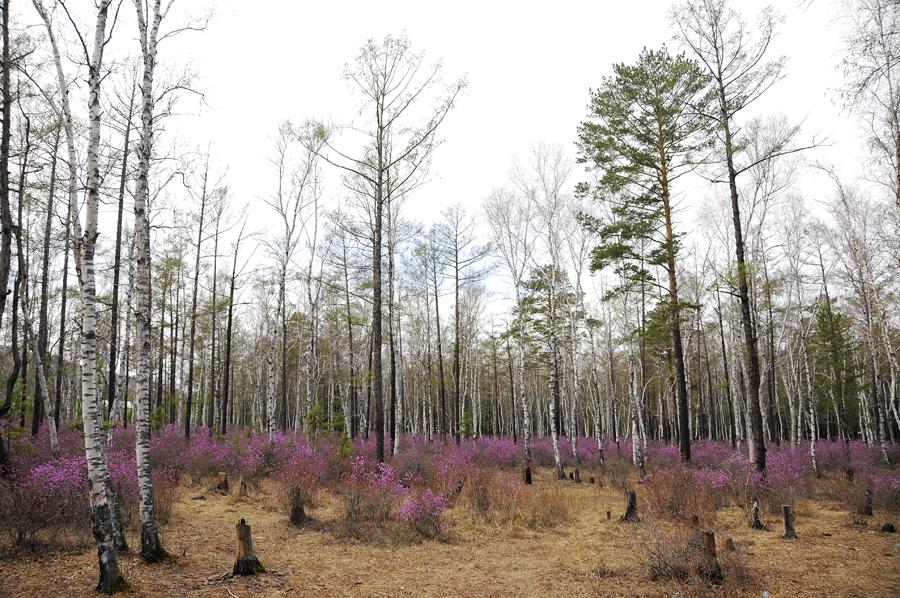 purple07 Цветение багульника   удивительное и чудесное зрелище