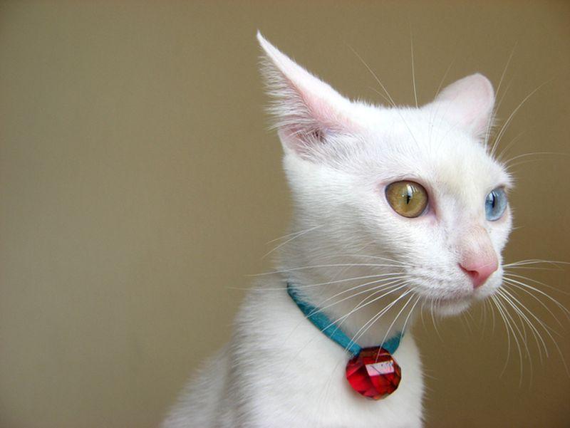 Heterochromia07 Разноглазые кошки