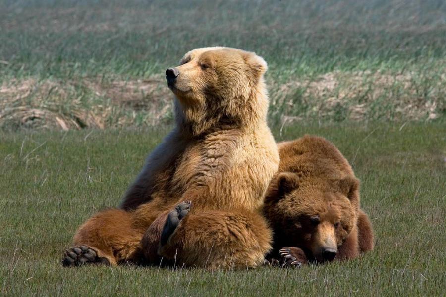 медведи отдыхают