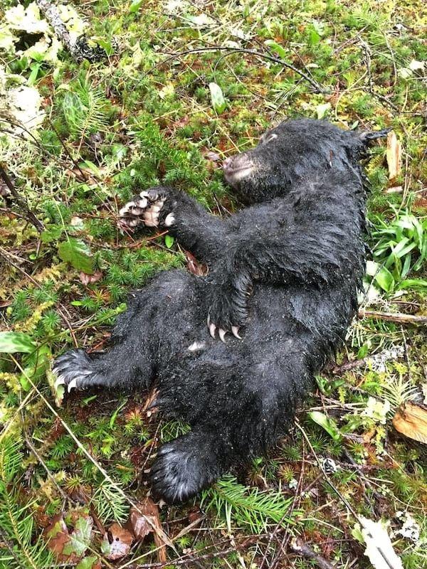 Он рисковал своей жизнью и свободой, чтобы спасти погибающего медвежонка!