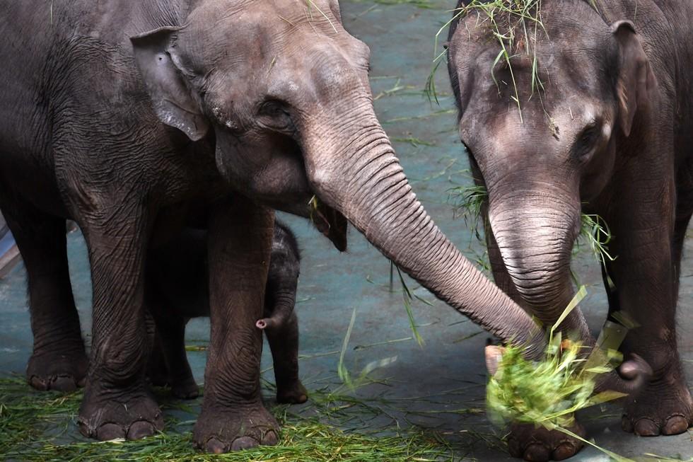 Пара слонов в Московском зоопарке и их детёныш Филимон. Фото: © РИА Новости/Владимир Вяткин