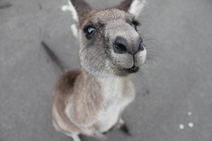 Кто самый страшный зверь: в Австралии начался массовый отстрел кенгуру
