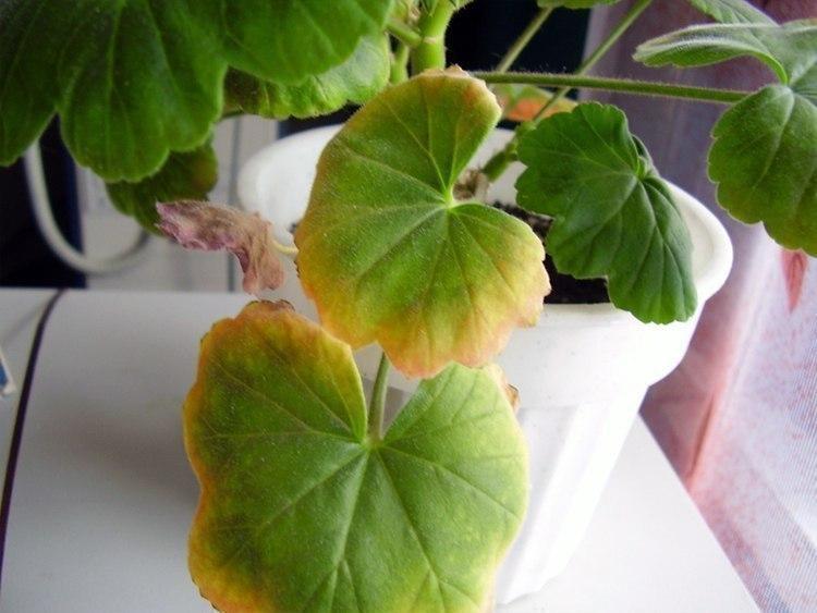 Почему у герани сохнут листья?