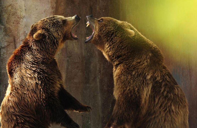медведи дерутся