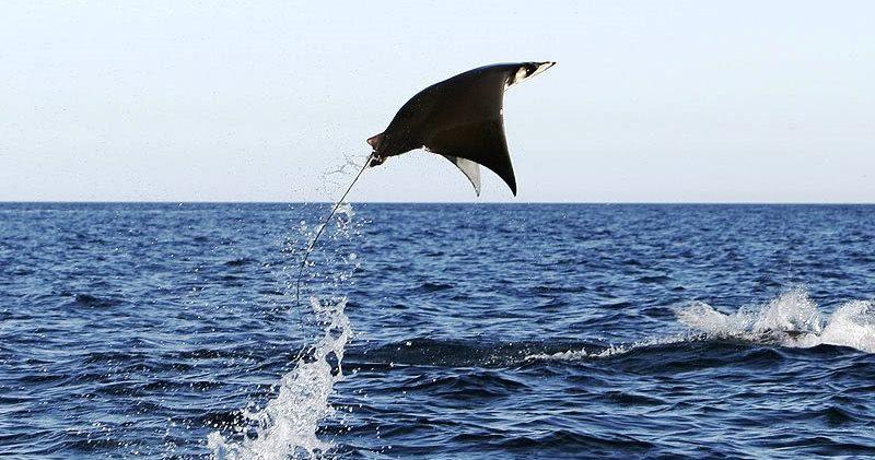 Почему гигантские скаты выпрыгивают из воды?