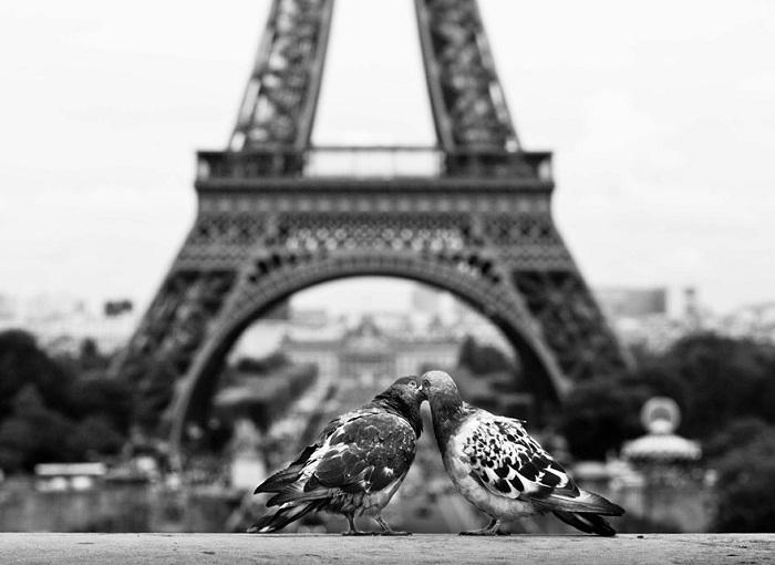Фотография целующихся голубей.