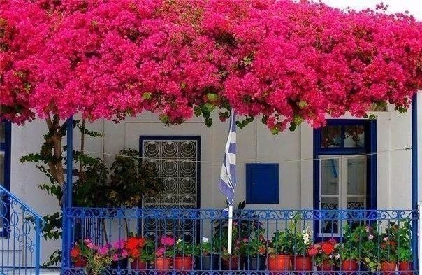 Бугенвиллия - живое украшение улиц Средиземноморья
