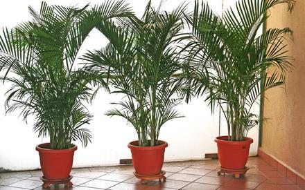 Почему желтеет пальма?
