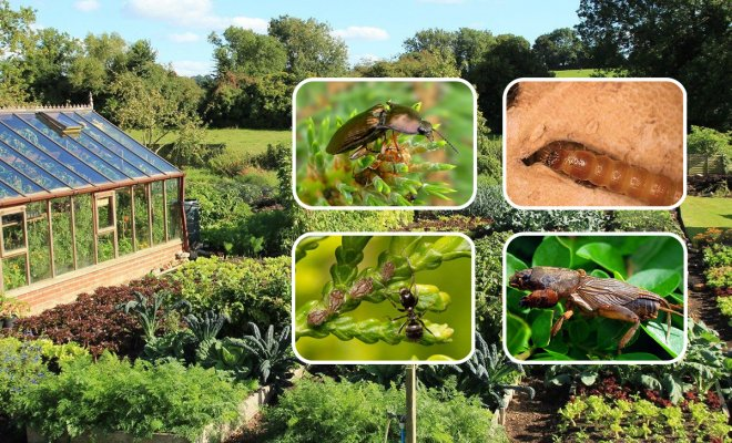 Медведка, проволочник, муравьи: как защитить участок от почвобитающих вредителей