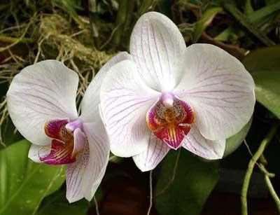 Выращиваем орхидею в домашних условиях