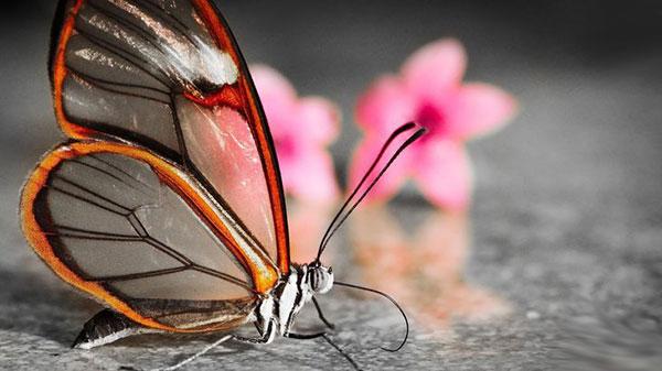 Бабочки-убийцы: что мы о них…