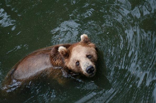 В Китае упавшего в канал медведя спасли при помощи экскаватора