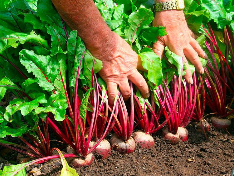 Подзимний посев свеклы – зачем, как и когда это делать?
