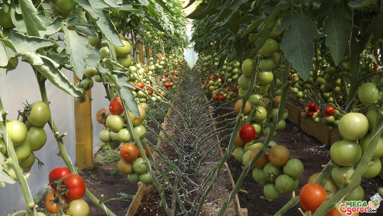 Какие сорта помидоров лучше сажать в теплице в украине