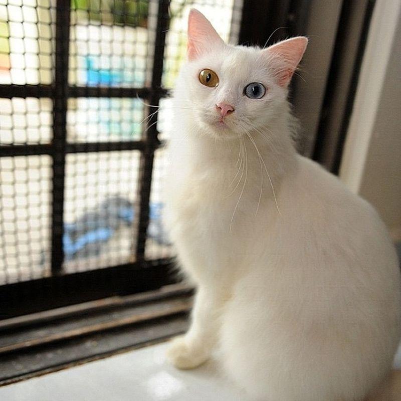Heterochromia09 Разноглазые кошки