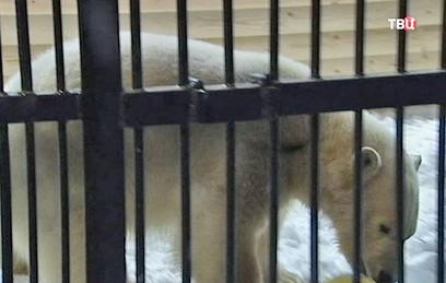 Ленинградскому зоопарку передали медвежонка Снежинку