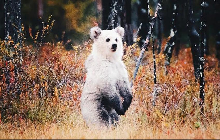 Финский фотограф запечатлел медведя-альбиноса