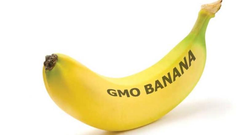 ГМО-бананы уже выращивают в …