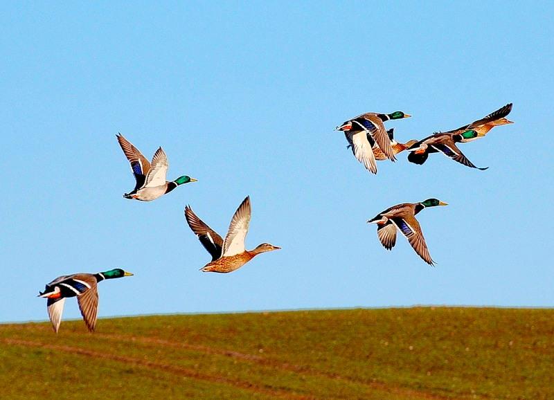 Перелетных птиц из Японии проверяют на радиацию на Камчатке