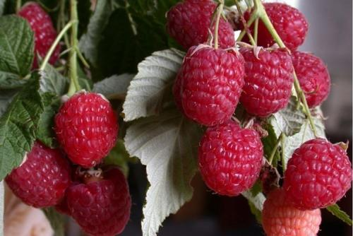 9 секретов хорошего урожая малины.