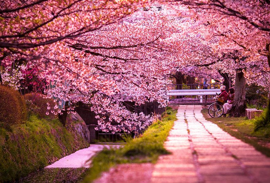 Самые красивые цветущие вишни по
