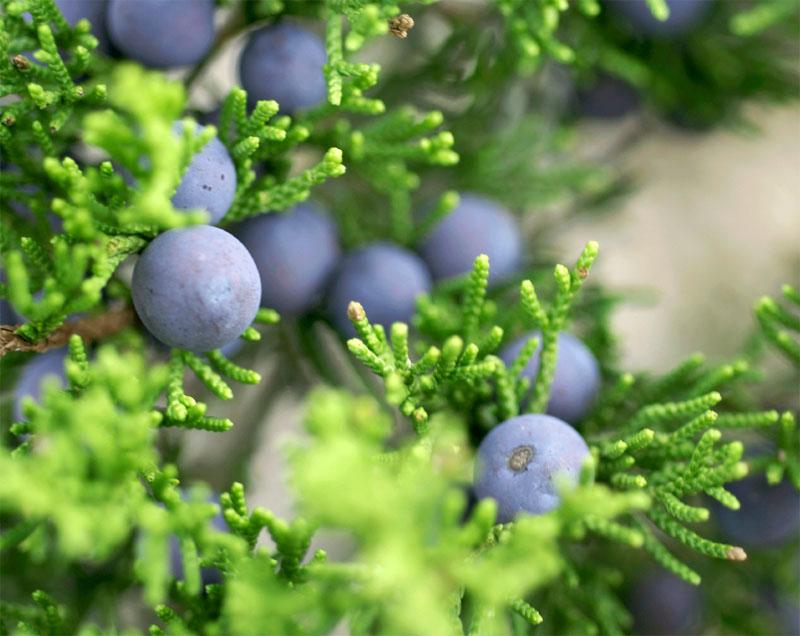 Лекарственное растение - Можжевельник обыкновенный