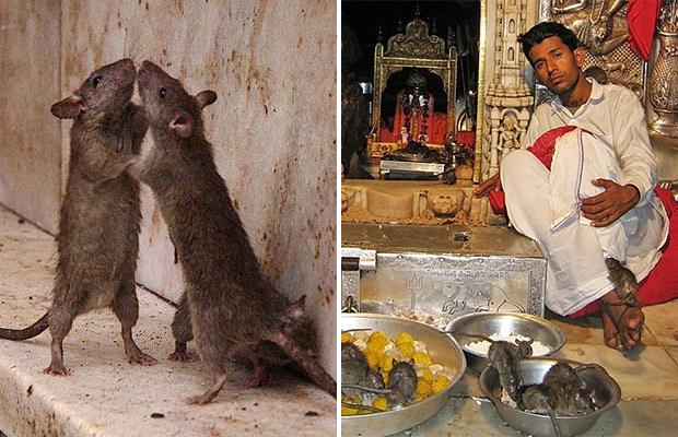 Индийский храм, где поклоняются живым крысам