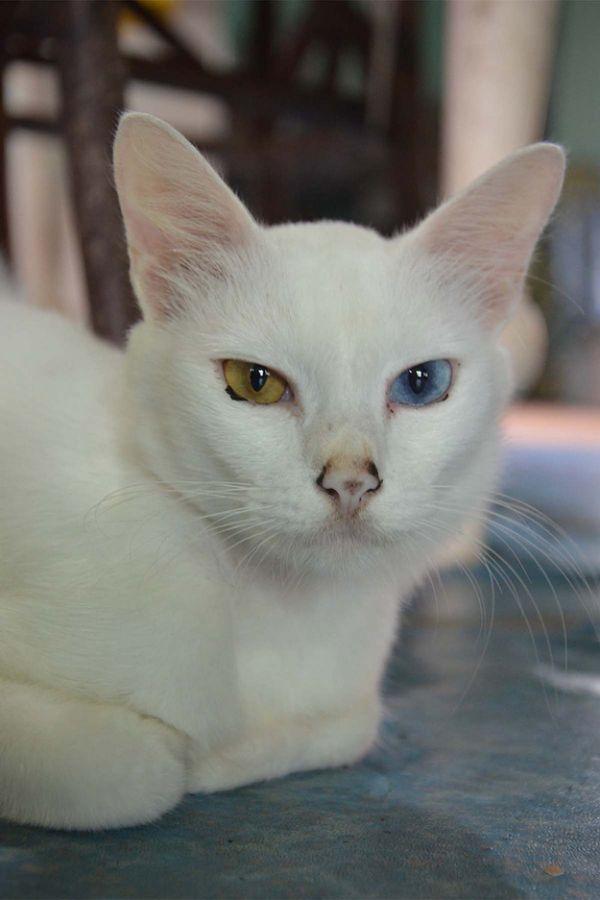 Heterochromia17 Разноглазые кошки