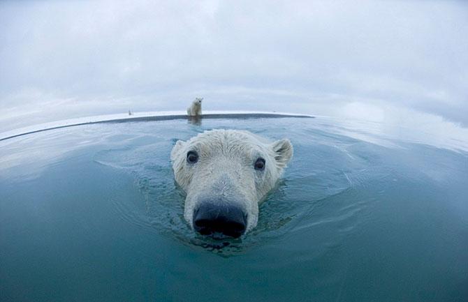 Белые медведи на расстоянии вытянутой руки