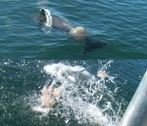 Дельфиний ластабол