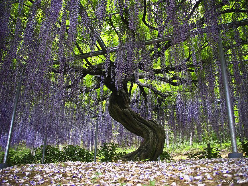 Уникальный парк цветов Асикага в Японии