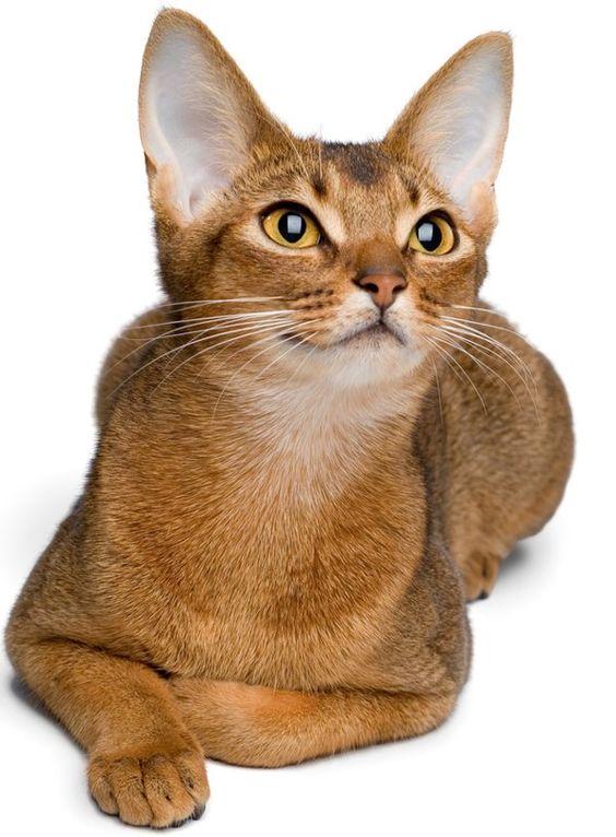 Абиссинская кошка: фото, описание породы, где купить