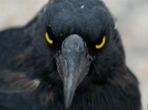 ВОРОНЫ.Если бы орнитологи не…