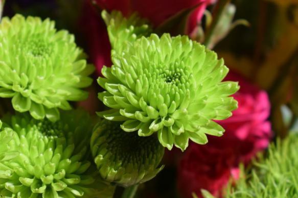Садовая хризантема: сорта, в…