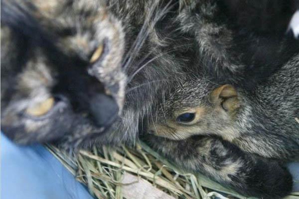 Кошка усыновила бельчонка