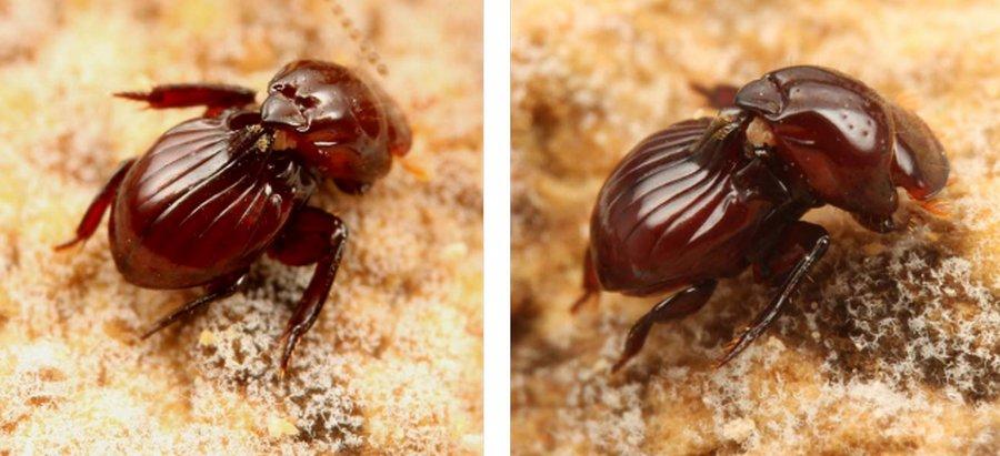 Жук-чемодан — профессиональный иждивенец в мире насекомых