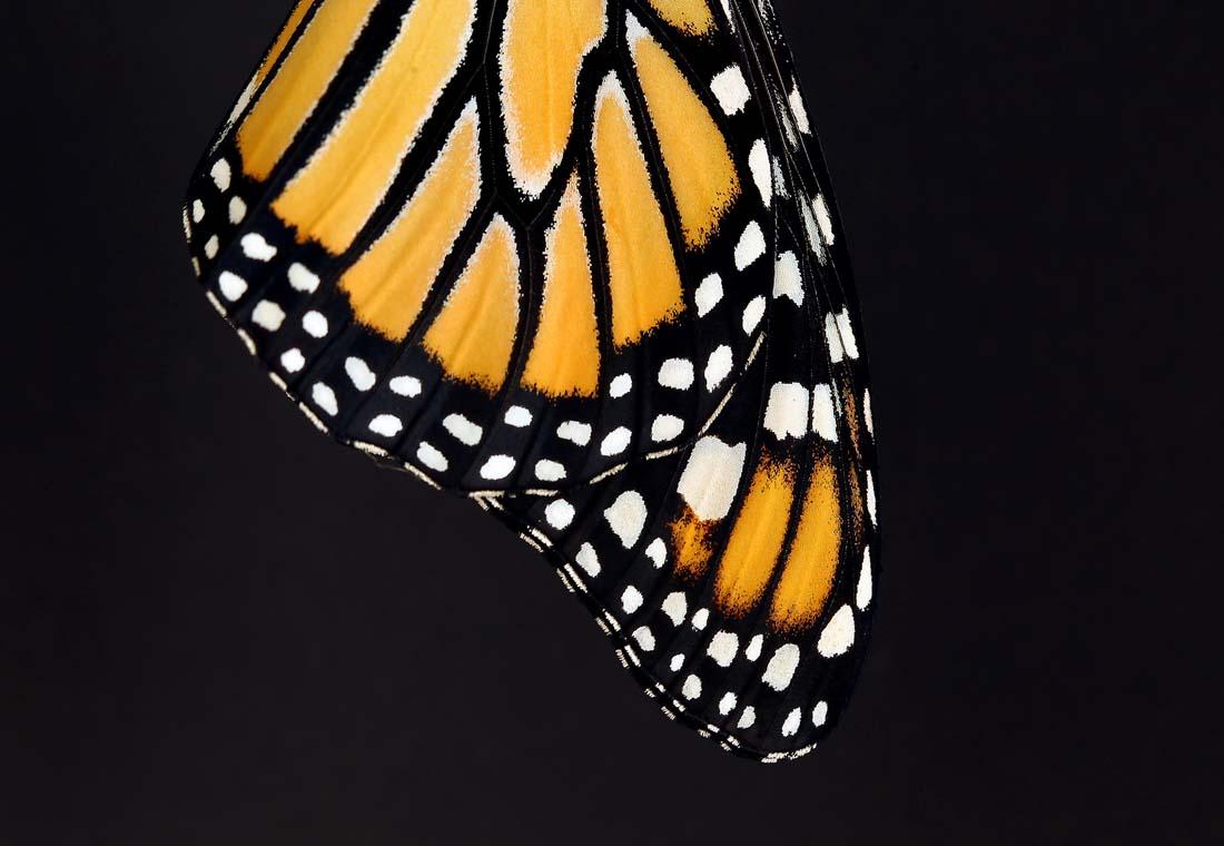 2229 Метаморфозы и рождение бабочки монарха