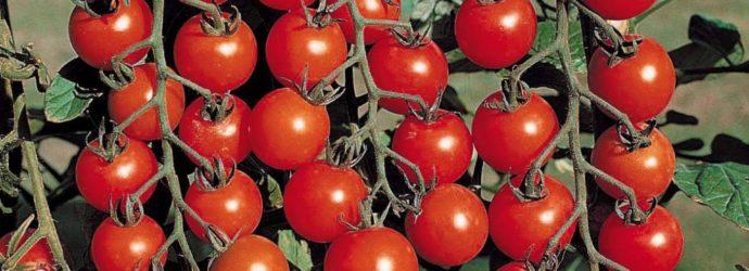«Ленивый» способ выращивания помидоров