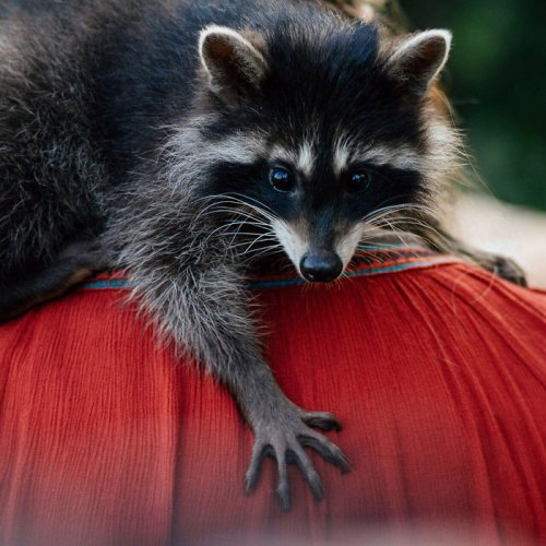 """Енот Яша, который """"работает"""" в ветклинике, помогая расслабиться животным"""