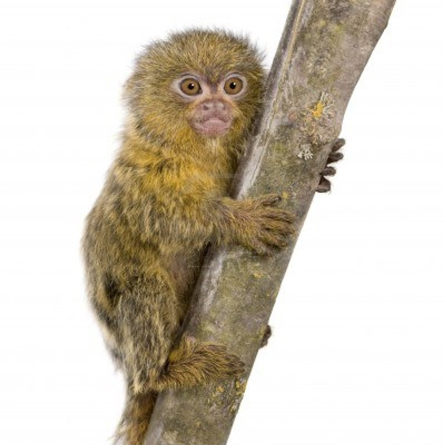 2935502-pygmy-marmoset-5-weeks--callithrix-cebuella-pygmaea-in-front-of-a-white-background