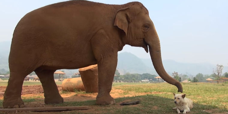 Слоны подружились с собаками